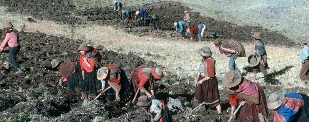 PERU. Picking potatoes. 1991.